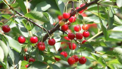 summer cherries _for energy blog